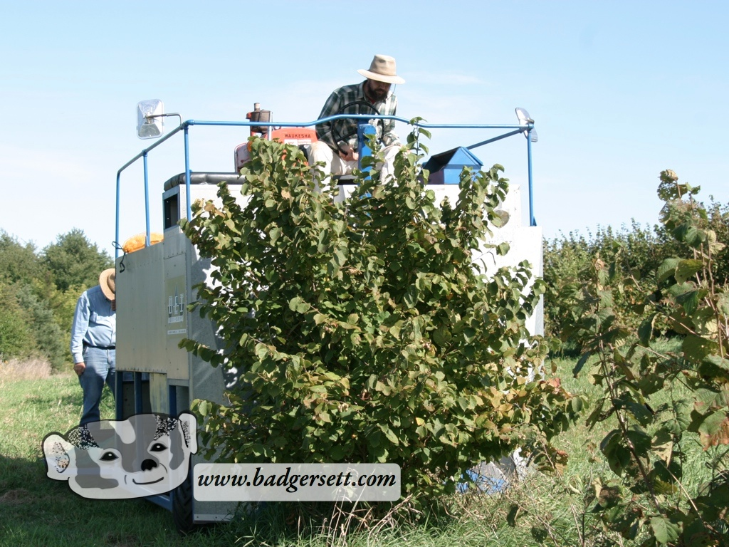Hazel Harvester Taking In Bush