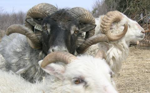 Icelandic sheep at Badgersett
