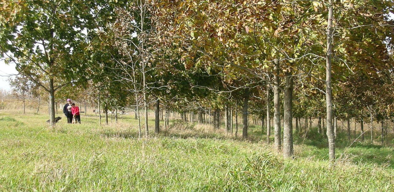 main field hickory-pecans