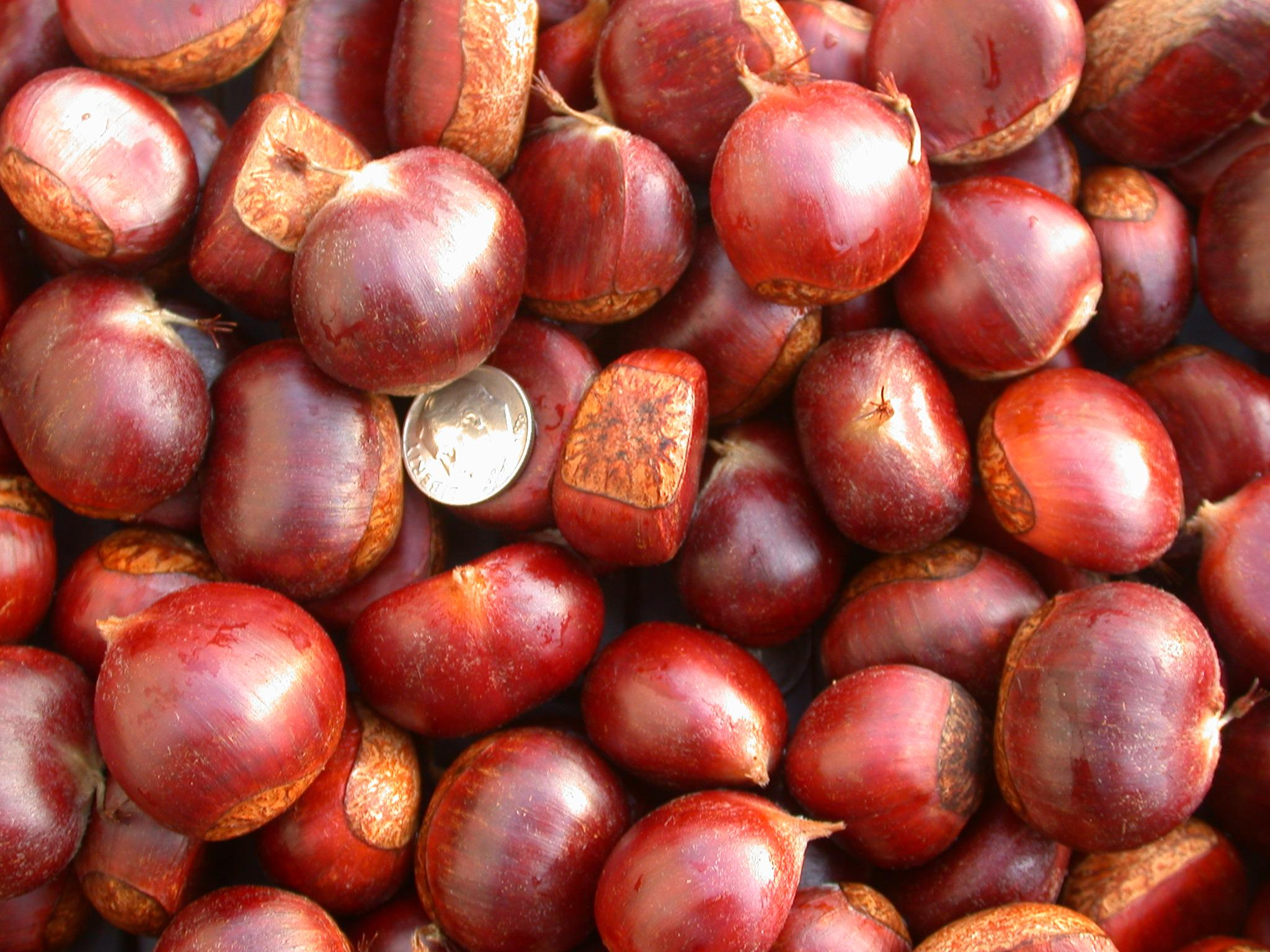 Badgersett neohybrid chestnuts