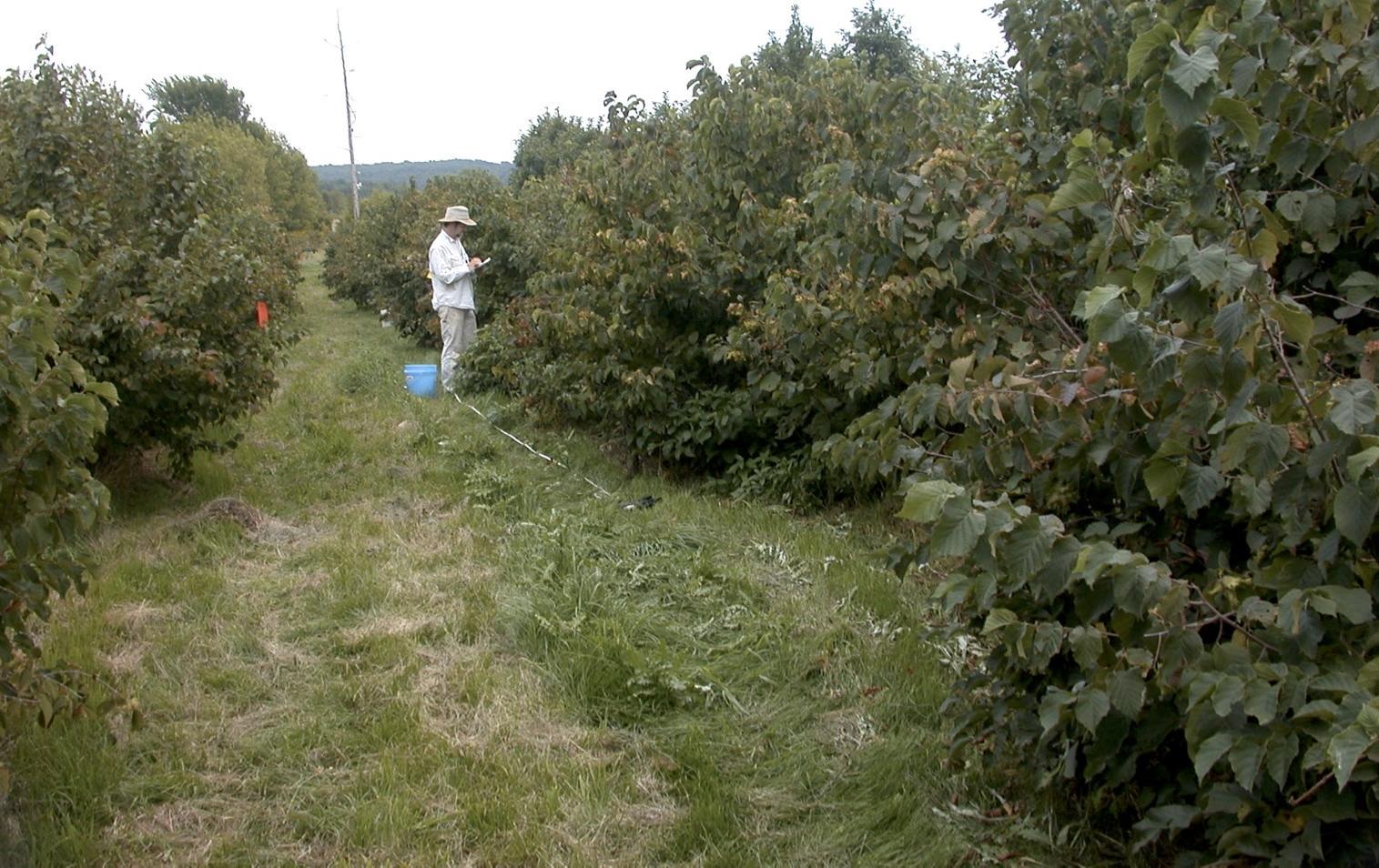 Hazelnut (hazel): planting and care. Redwood hazel